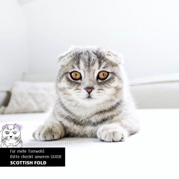 stylecats-katzenrassen-scottishfold-vorschau